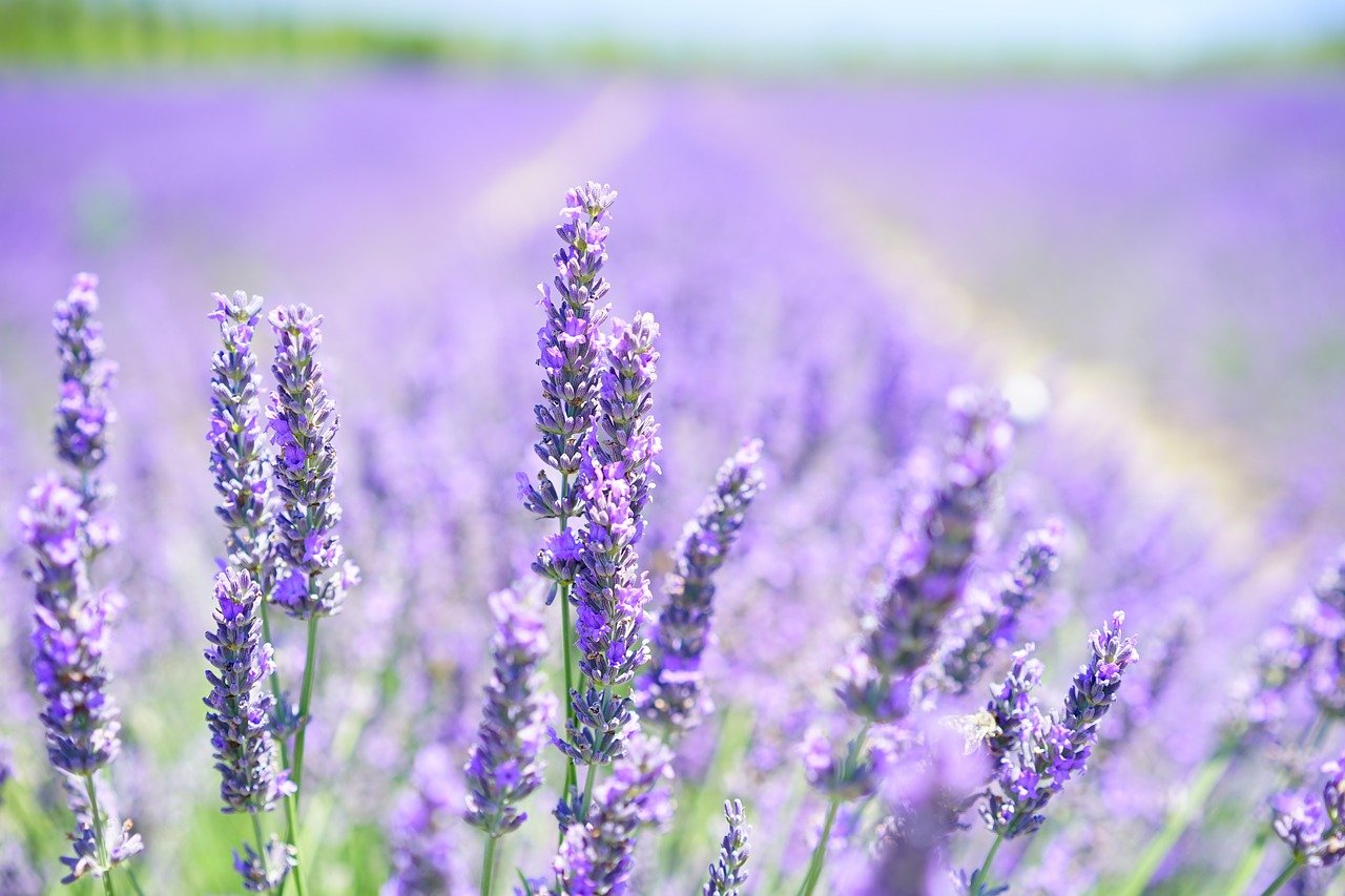 Did You Know: Lavender Oil?